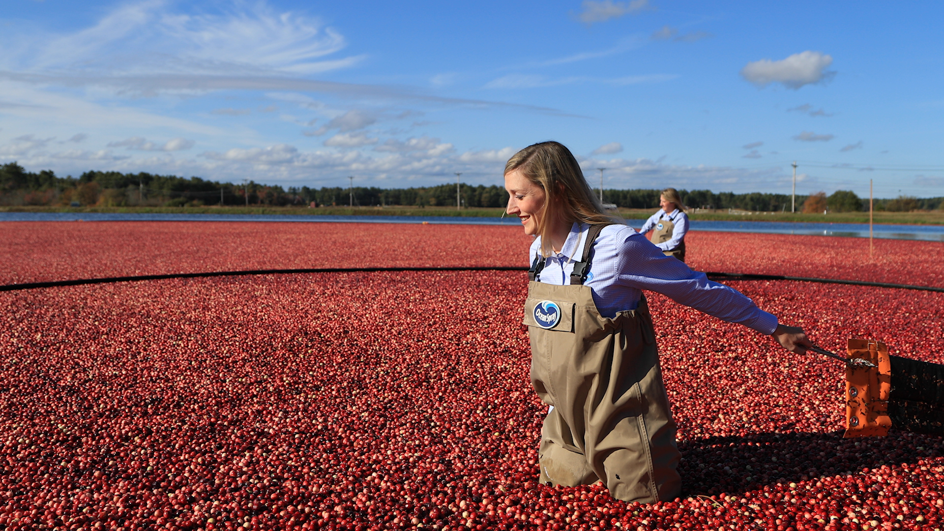 ocean spray cranberry field